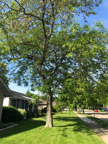 Here is a picture of a healthy tree. A customer had us take a look at it because they wanted to know what the current health status was of it. All good here!